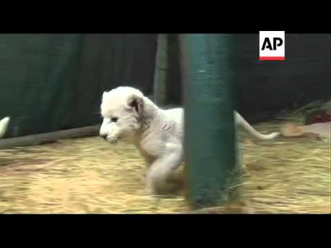 Xxx Mp4 Abandoned White Lion Cubs Reared By Hand 3gp Sex