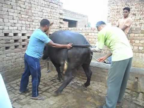 Artificial Insemination of Murrah Buffalo.