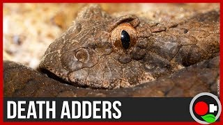 Death Adders: The Science Behind Them!