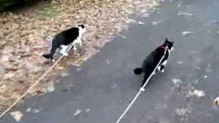 Cats Walking On Leashes