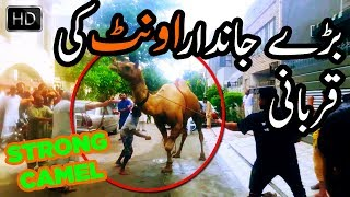 Strong Camel Qurbani at Eid ul Adha 2017 Bakra Eid 2017 HD