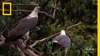Eagle vs. Eagle | National Geographic