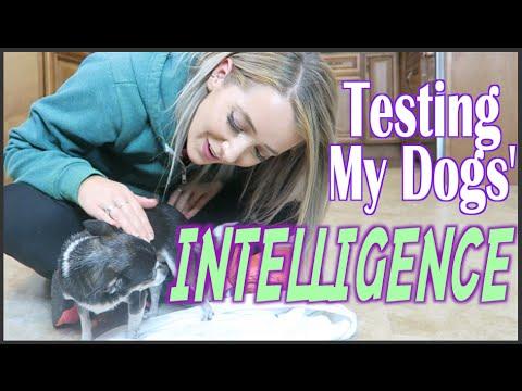 Testing My Dogs Intelligence
