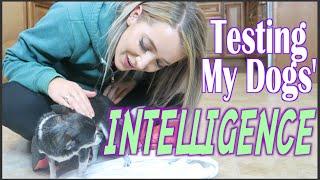 Testing My Dogs' Intelligence