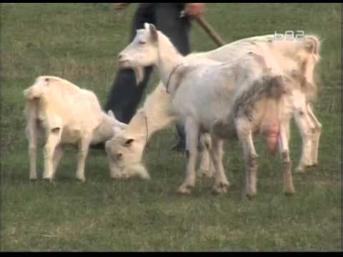 Uzgoj koza na organski nacin