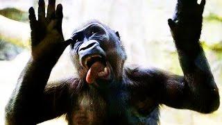 GORILLAS Pranking HUMANS 2017 [Funny Pets]