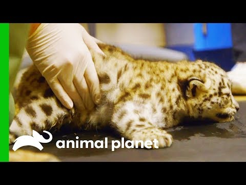 Xxx Mp4 Snow Leopard Cub Starts Physical Therapy To Help Her Learn To Walk 3gp Sex