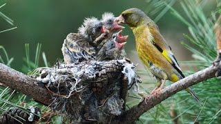 Goldfinch | Burung Ini Berkembang Biak Di Balkon Apartemen Download Mp3 Mp4 3GP HD Video