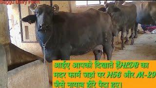 👍MOTHER FARM: OF  🥇HLDB Hisar (Haryana) TOP 👌MILKLINE Origenal Murrah 🐂Buffalows..