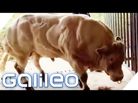 Die Bodybuilder-Kuh   Galileo   ProSieben