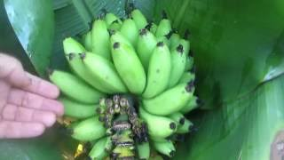 How to tell when to harvest bananas