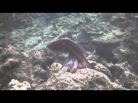 Octopus video, Wai'paoe pond, Kapoho, Hawaii