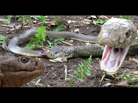 KING Cobra Attacks & Eats Spitting Cobra RARE FOOTAGE HD