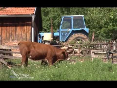 Uzgoj ovaca i krava u selu Semedraz U nasem ataru 448