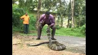 king cobra live attack