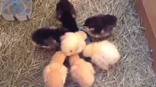 TAKING CARE OF BABY CHICKS WEEK 01