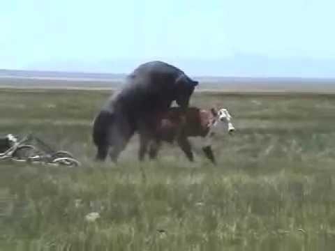 Xxx Mp4 Let S Get It On Cattle 3gp Sex