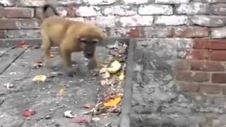 Bangladeshi Monkey funny video ever