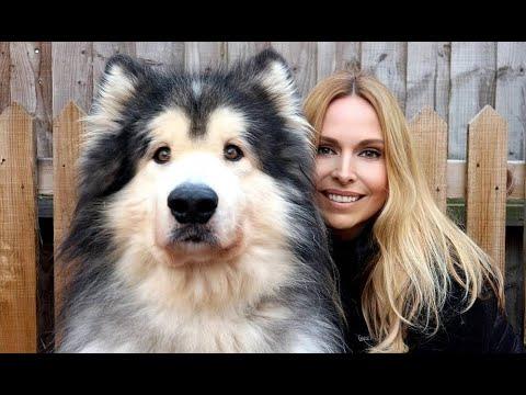 Xxx Mp4 GIANT ALASKAN MALAMUTE DOGS Animal Watch 3gp Sex
