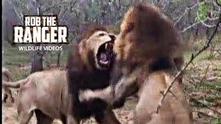 Mighty Male Lions Fight! Lion vs Lion!