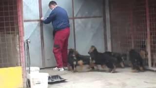 كلاب برجي