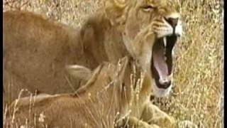 MUST WATCH: A Lioness Adopts a baby antelope. A short documentary that will open your eyes.