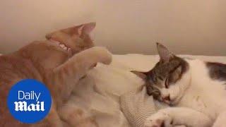 Annoying cat disturbs friend who