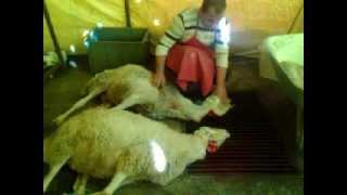 Alkanlar Canlı Hayvan Ticaret Kurban Kesimi
