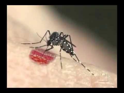 DENGUE - Aedes Aegypti picando uma