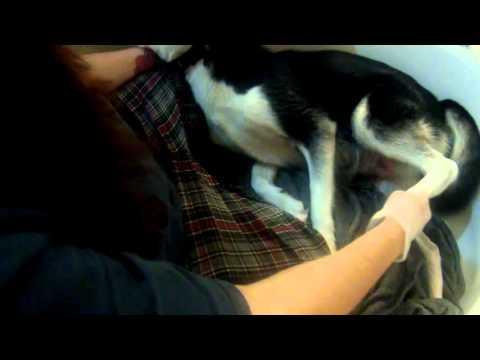 Husky screams during birth!