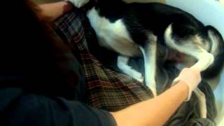 Husky screams during birth!