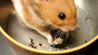 Hamster vs. Hissing Roach [Full HD]