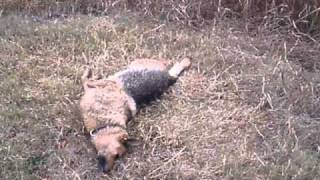 Dog Bitten By Striped Venomous Horse Eating Snake!