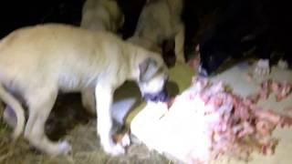 Cukulat - 6 kardesler-6 dogs of a mother dog