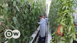 Hollanda vanilya üretmeyi başardı - DW Türkçe