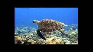 'Senyum Penyu, Senyum Kita' : A Turtle Song