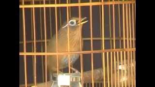 burung WAMBI juara 1
