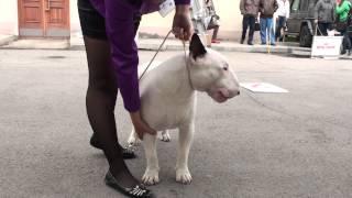 Dog Show Mono Bull terrier 2014/05/25 p09 (584)