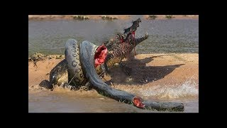 Giant Anaconda VS Crocodile   The Most Dangerous Wild Animals Fights HD VIDEO