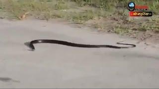 सड़क पर फन पटक-पटककर दी जान, देखें वीडियो | Snake Loses its सांप life