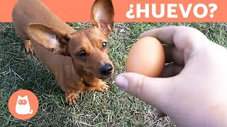¿Los perros pueden comer huevo?