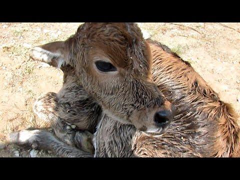 Newborn calf dumped still wet with afterbirth rescued