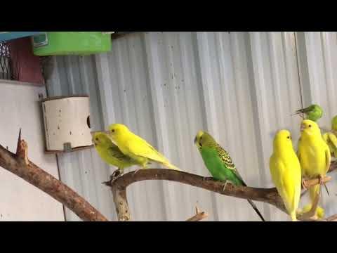 اجمل تزاوج طيور البادجي