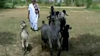 Nachi goats walking ناچی بکریاں کیسے چلتی ہیں