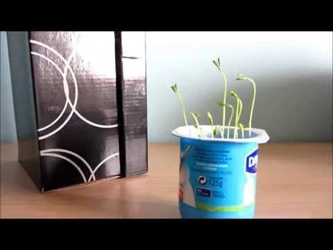 Experimento casero ¿crece una planta sin luz