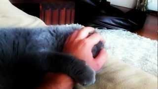 Scottish Fold Cat... Hardcore pussy licking