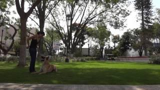 Poli (cruza de pastor alemán con belga malinois)- adiestramiento positivo