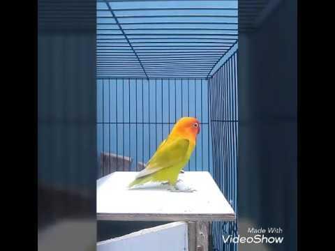 Lovebird betina ngekek pengen kawin