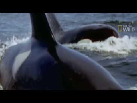 KILLER WHALES vs GREAT WHITE SHARK Orca whale kills great white & eats it