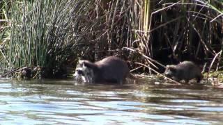 Raccoons Fishing